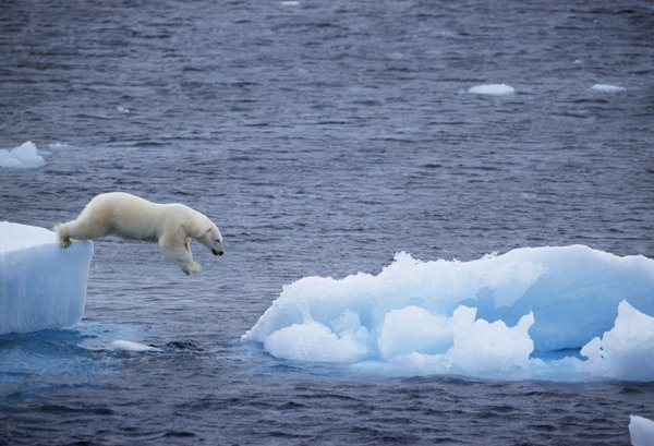a polar leaps the chasm between ice floes